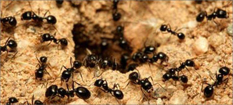 много-муравьев