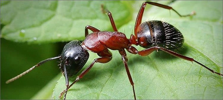 муравей-на-листочке