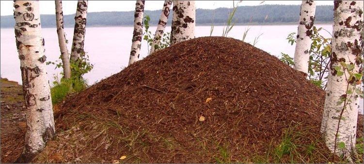 муравейник-около-берез