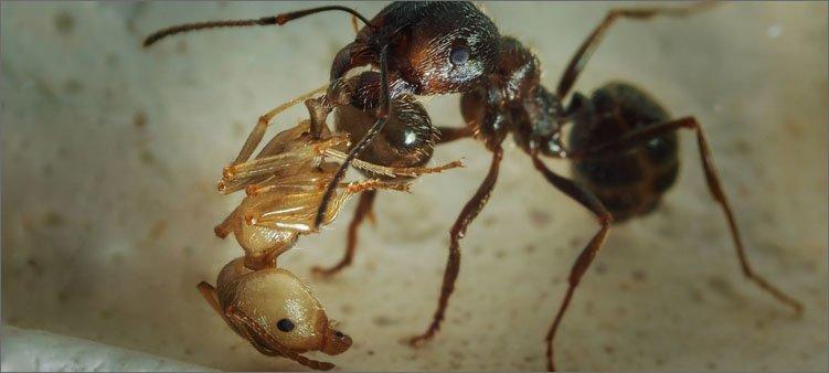 муравей-нянька