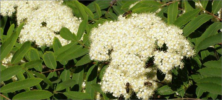 рябина-цветет