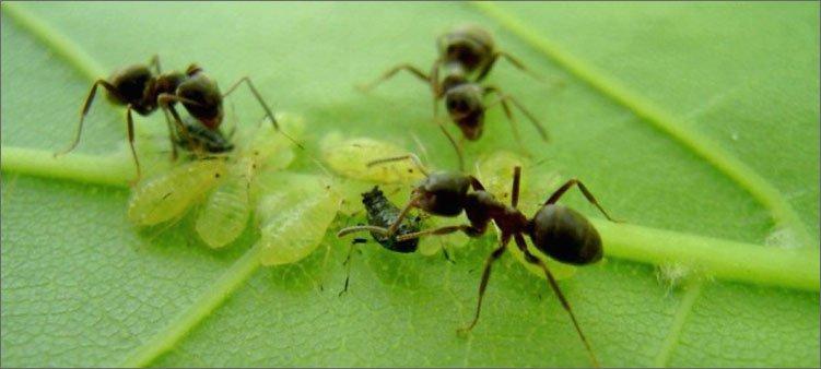 муравьи-и-тля
