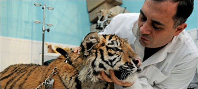 ветеринар-осматривает-тигренка