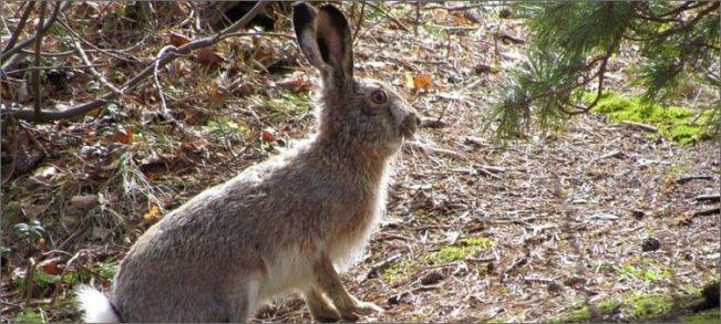 серый-заяц-в-лесу