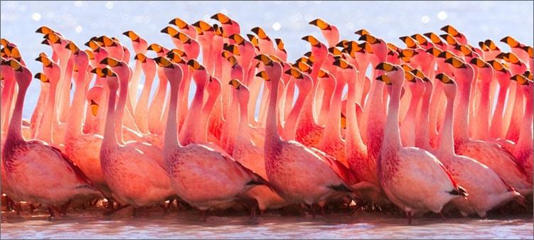 стая-розовых-фламинго