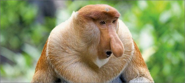 обезьяна-носач