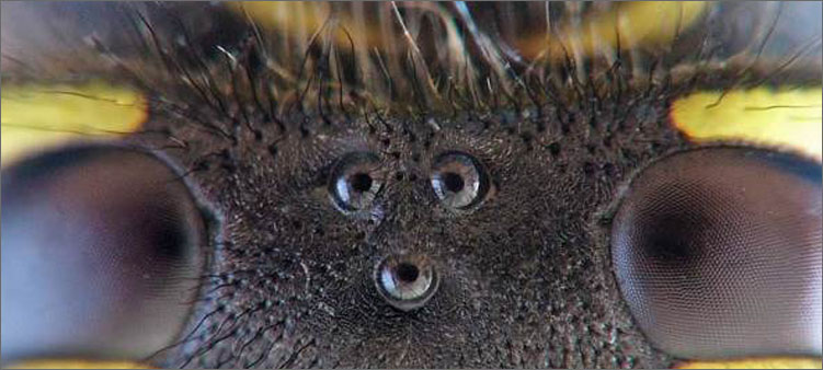 глаза-осы