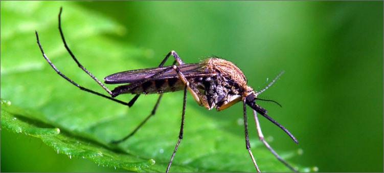 комар-на-листе
