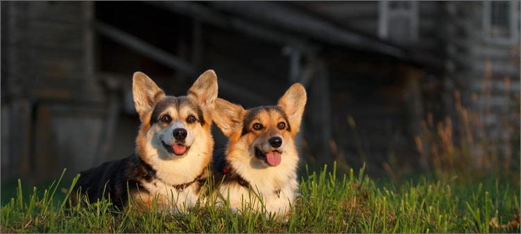 две-собаки-хаски