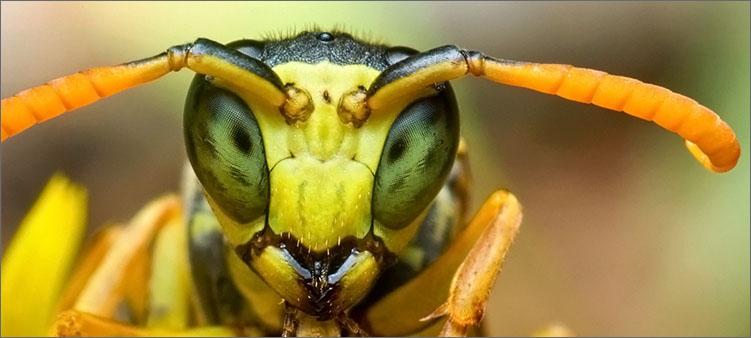 лицо-осы