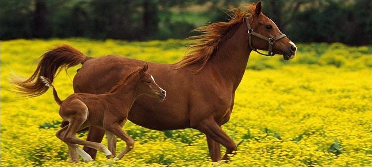 лошадь-с-жеребенком
