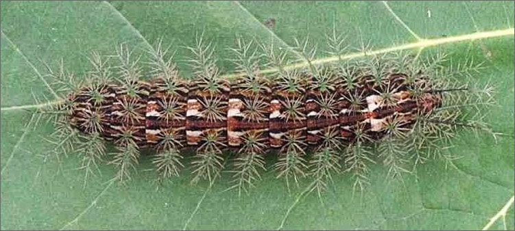 гусеница-бабочки-лономии