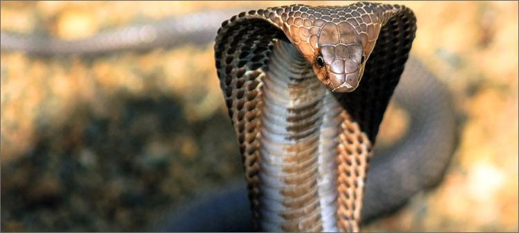 королевская-кобра