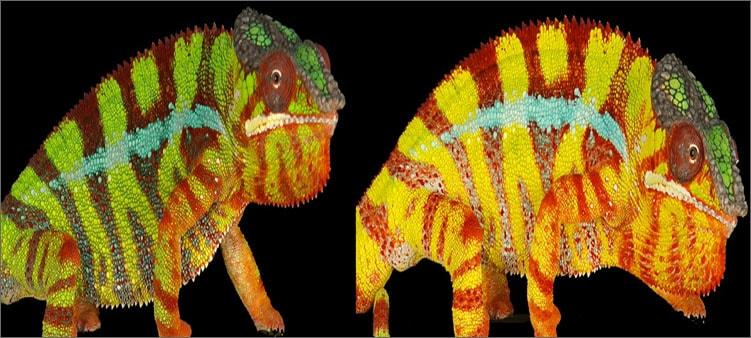 хамелеон-меняет-цвет