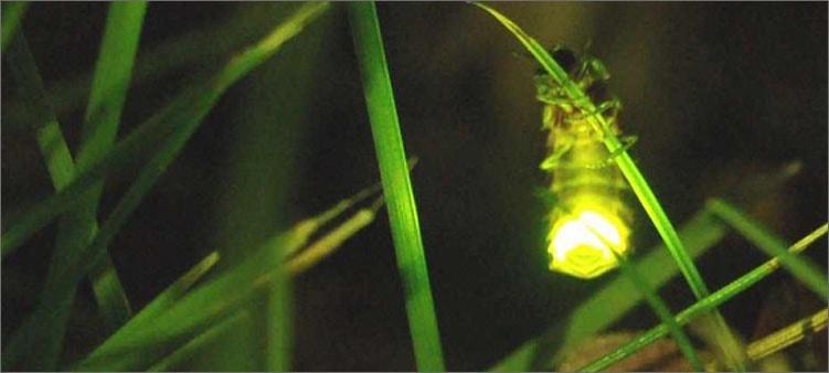 светлячок-на-травинке