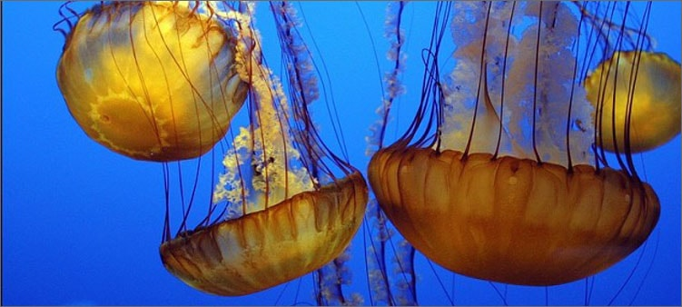 сцифоидные-медузы
