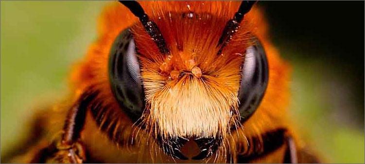пчела-крупным-планом