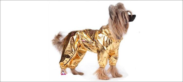 собака-в-золотой-одежде
