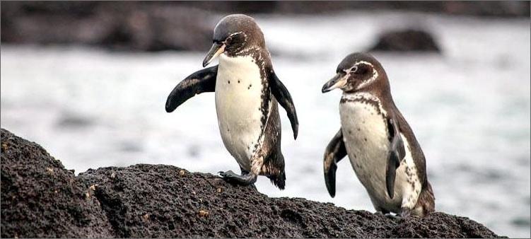 галапагосский-пингвин