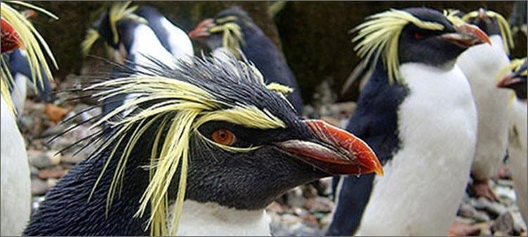 хохлатый-пингвин