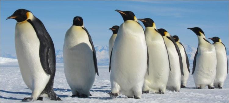 пингвины-на-льдине