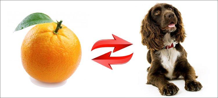 анаграмма-апельсин-спаниель