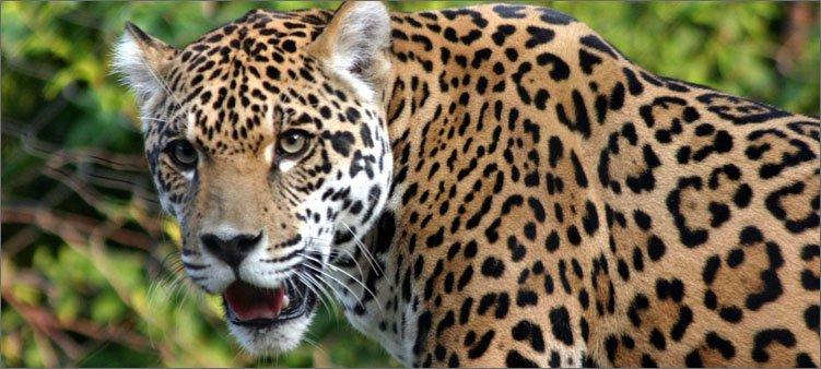 красивый-ягуар-в-лесу