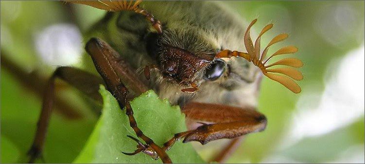 майский-жук-ест-лист