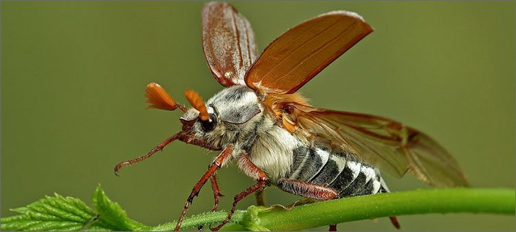 майский-жук-поднял-надкрылья
