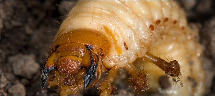 личинка-майского-жука