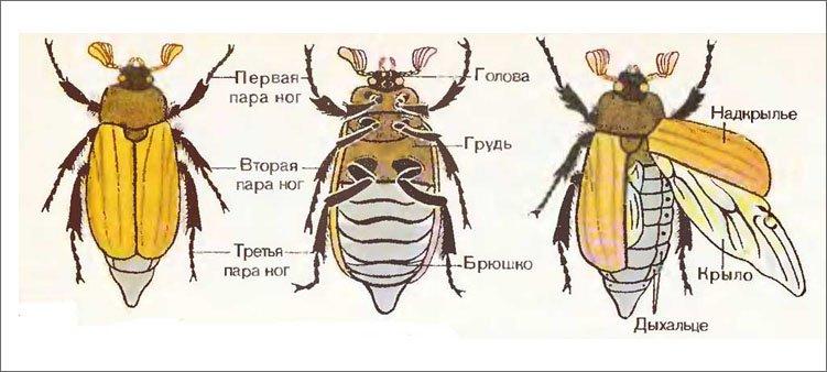 строение-майского-жука