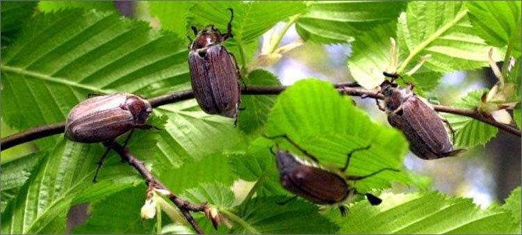четыре-майских-жука-сидят-на-ветке-дерева
