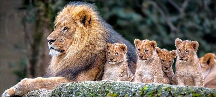 семья-львов-лев-и-львята