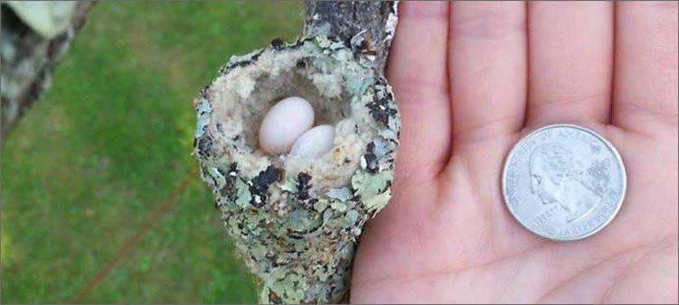 гнездо-колибри-по-сравнению-с-монеткой