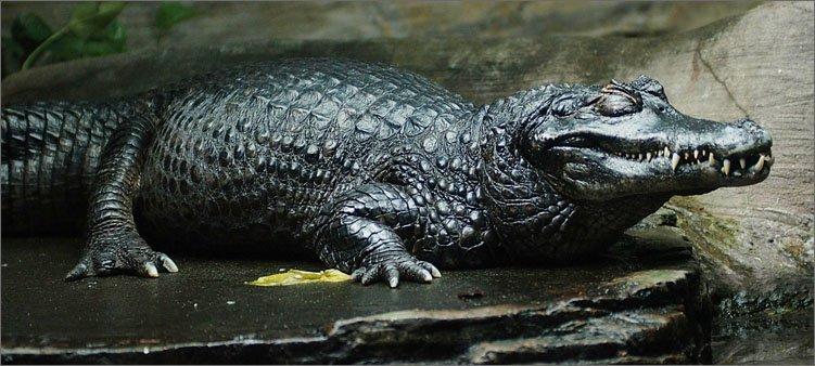 черный-амазонский-кайман
