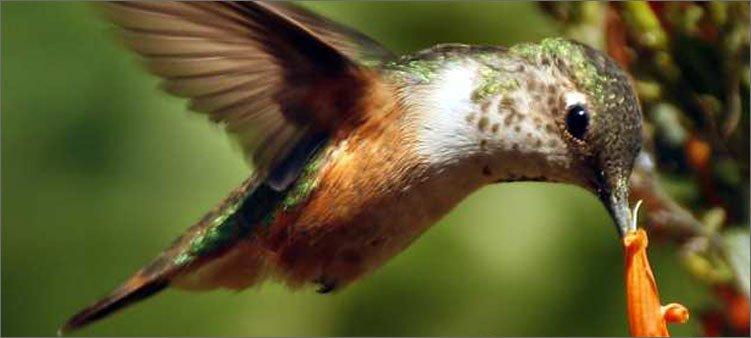 колибри-пьет-нектар
