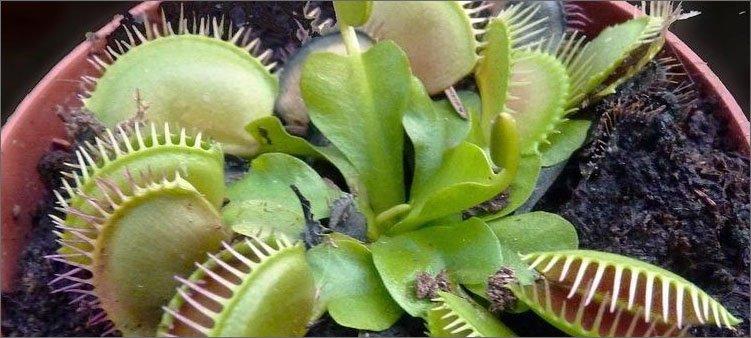 хищное-растение-в-горшке