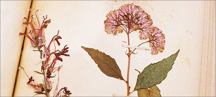 засушенный-розовый-цветок-на-альбомном-листе