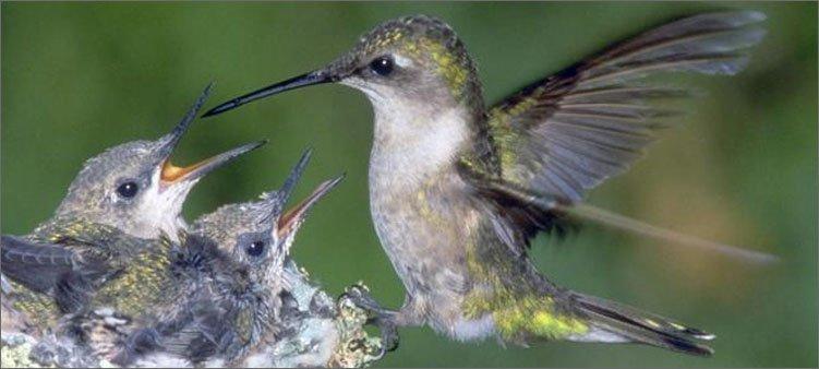 колибри-с-птенцами