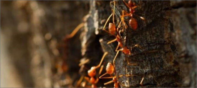 сад-дьявола-и-лимонные-муравьи