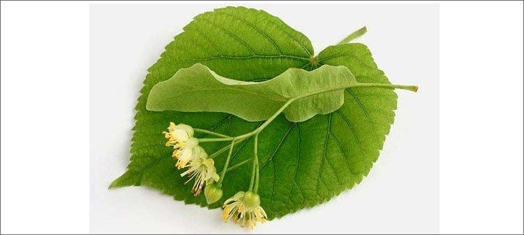 листочек-липы