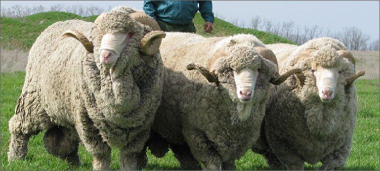 овцы-породы-меринос