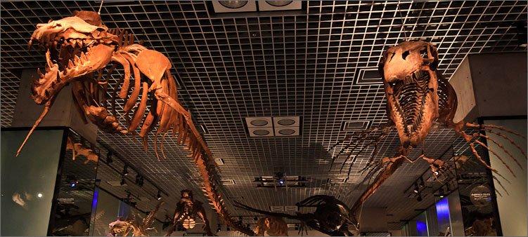 скелеты-динозавров-в-японском-музее