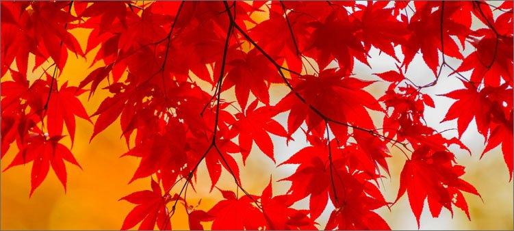 багряные-листья