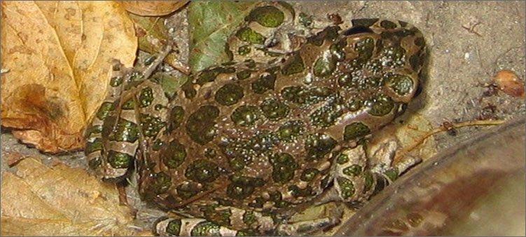 лягушка-впала-в-анабиоз