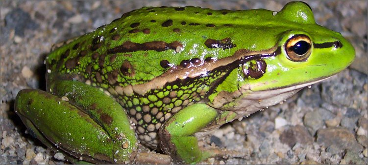 красивая-зеленая-лягушка