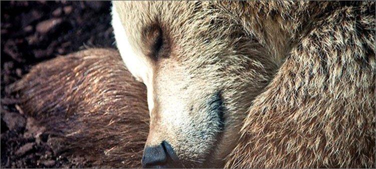 медведь-сладко-спит