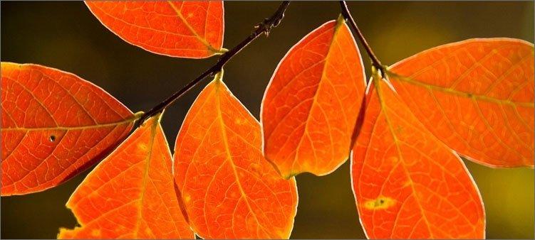 оранжевые-листья