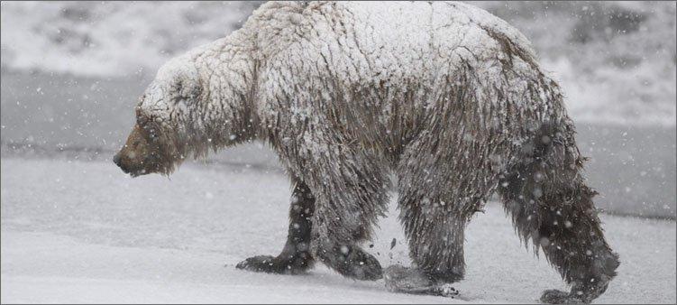 медведь-шатун-идет-по-лесу