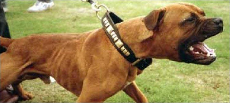 бойцовская-собака-без-намордника